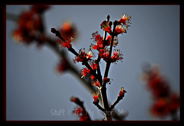 Our red maple buds~