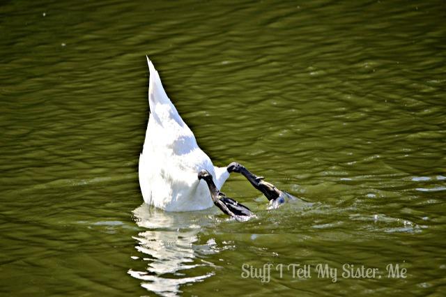swan butt