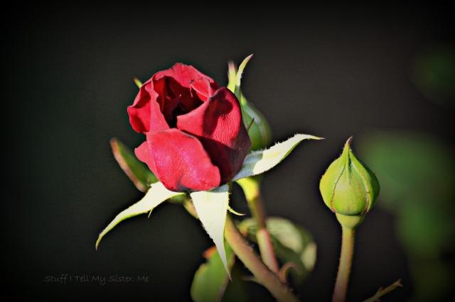 aunts mom's rose