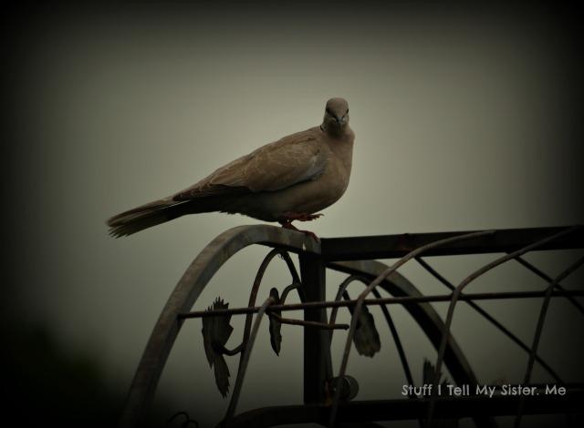 welcome june dove