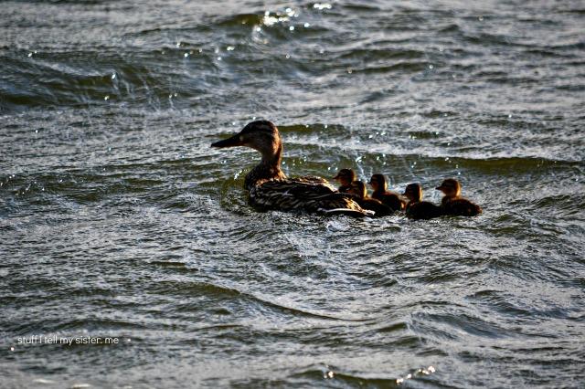 ducks geese 003