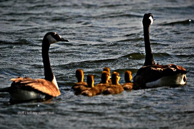 ducks geese 006