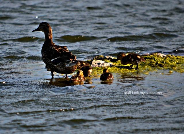 ducks geese 017