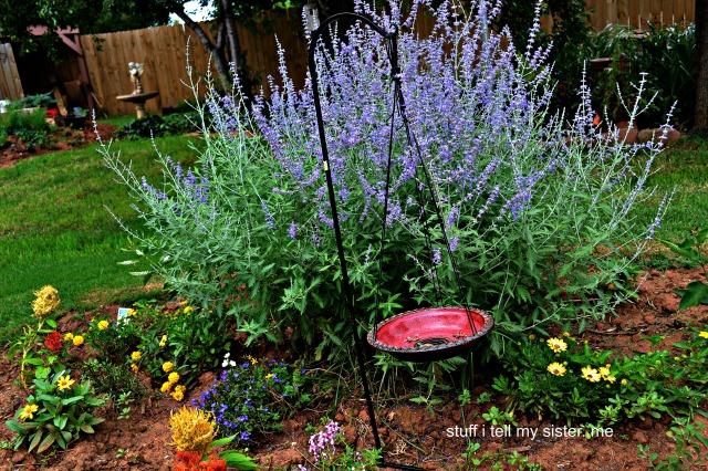 new tom lavender