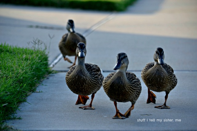 august ducks dogs