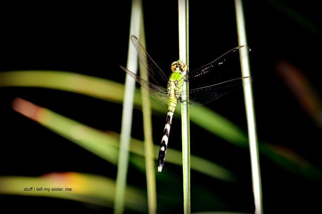 ducks dragonfly 2