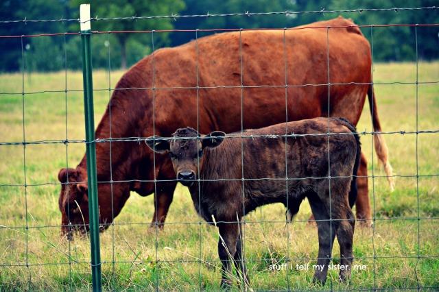 summer drive cows