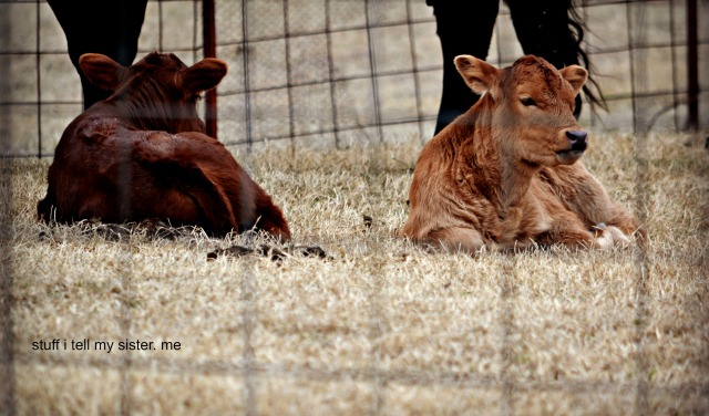 baby cows 2 x 2