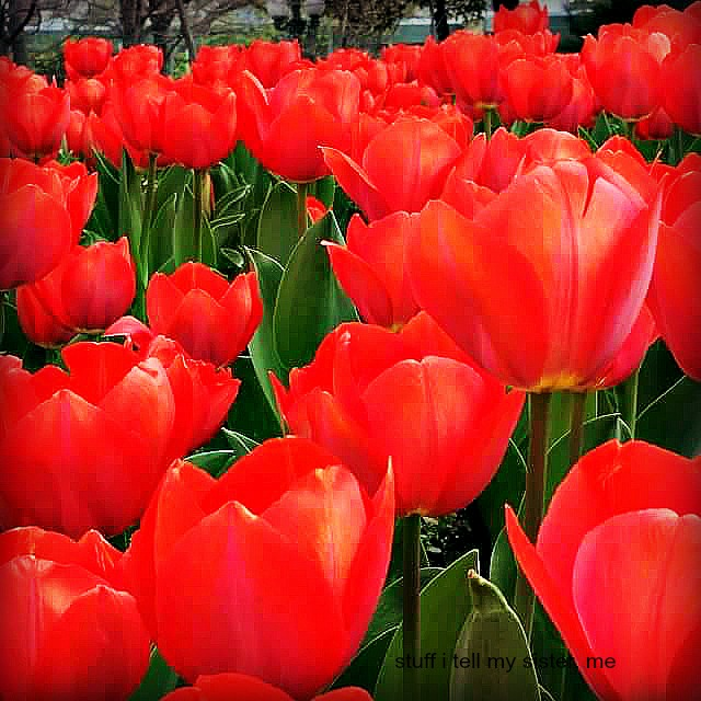 ducks tulips 2015
